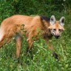 Calviac Wolf
